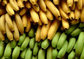 GM bananas to undergo human trials