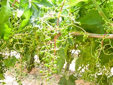 Heat threatens Sunraysia grapes