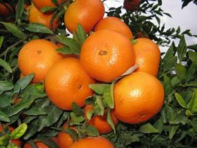 Mixed bag for Israeli citrus