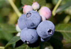 Australia blueberries look to India and China