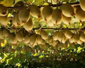 Gold kiwifruit crop down by half