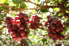 Record exports for Peruvian grapes