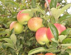 Bicoloured apple push ends second year