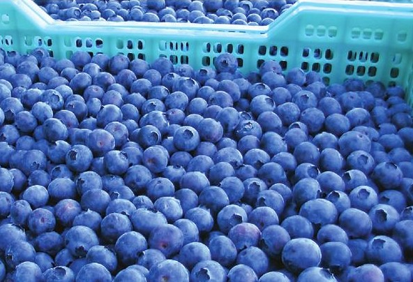 Sun shining on blueberry season