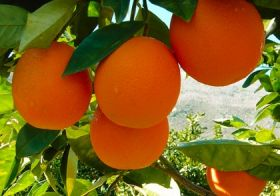 Hopes for South African citrus in Vietnam
