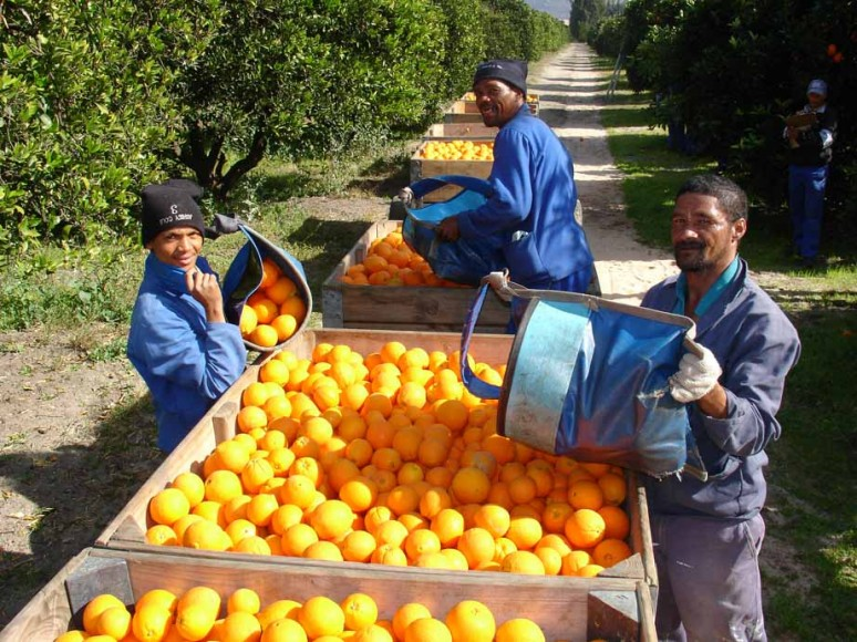 Record Citrus Crop On The Rise