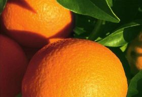 Honduran citrus exports on a roll