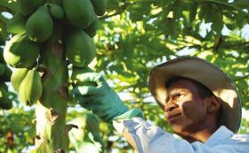 USAID boosts Sri Lankan papayas