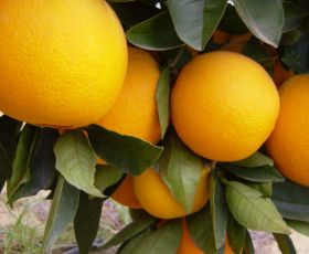 Record citrus crop once more