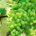 Price and choice drive grape sales