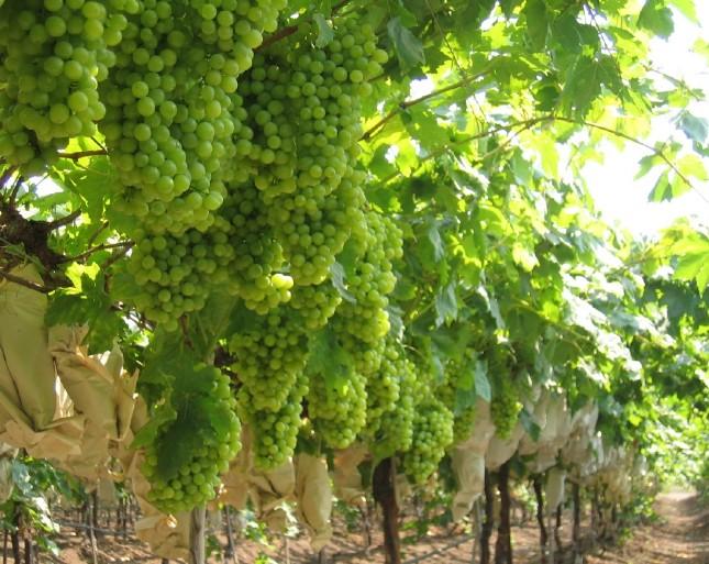 Deluge damages Indian grape crop