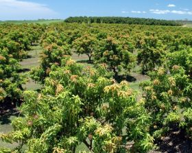Queensland predicts short mango crop