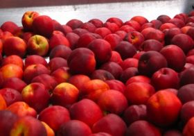 European stonefruit output climbs