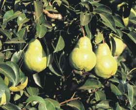 Chilean pears make headway on China access