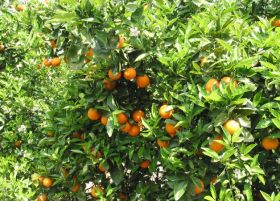Uruguay prepares first US-bound citrus