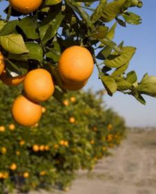 Citrum looks to grow citrus exports