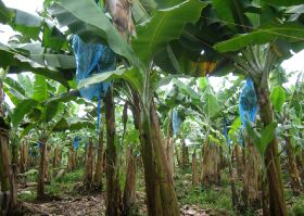 Costa Rican banana plantation shuts down