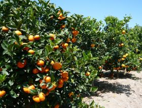 Peruvian citrus on track for Japan