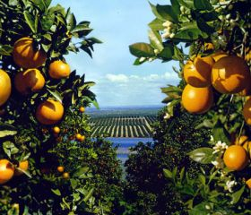 Southern Hemisphere citrus volumes to fall