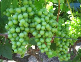 NZ withdraws Mexican grapes