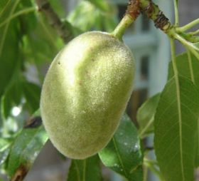 Alyssa Fruits kicks off almond exports