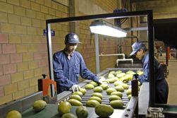 Pakistan to exceed mango export target