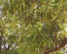 Inclement weather hits Indian mangoes
