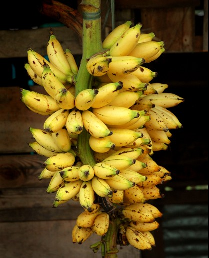 banana philippine Promobanana aims to protect, modernize and involve the philippine banana  sector and develop the agro-laboratory capacity for the benefit of every producer.