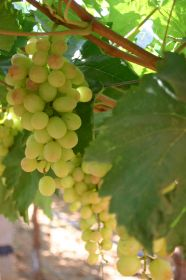 Record export volumes for Indian grapes