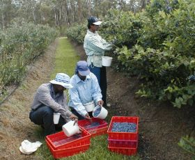 Australia welcomes island fruit pickers