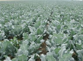 Brassica sector wins new £4.4m research project