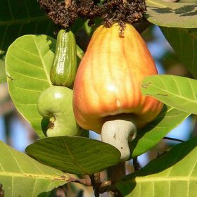 Planned boom for Indian cashews