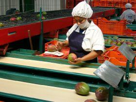 Peruvian mango output plummets