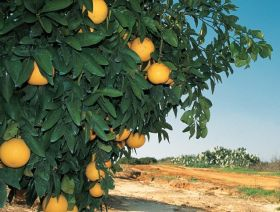 Israel's citrus exports, production to rise