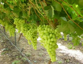 Namibian grape exports hit N$800m