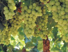 South Korea says yes to Mexican table grapes