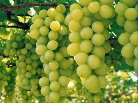 Outlook good for Australian grapes