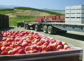 Washington apples lowers crop forecast