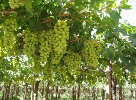 Chilean grapes to Australia spark spat