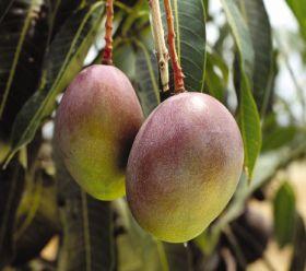 Tanzanian mango exports set for rise