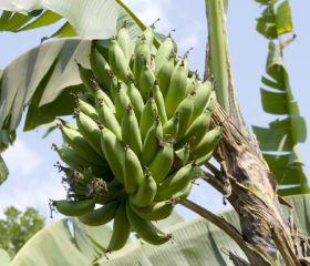 Cameroon banana exports down