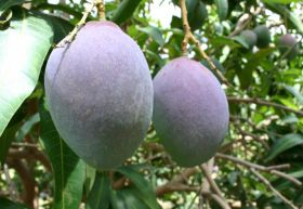 Peru's mangoes on the march