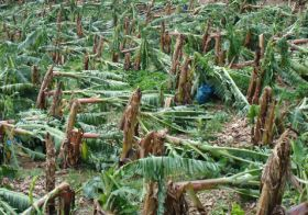 St Lucia sees banana industry 'wiped out'