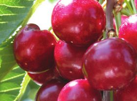US cherry growers eye Vietnam