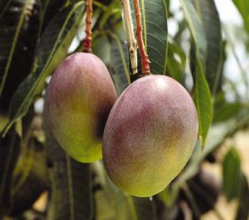 Taiwan trebles mango exports to Japan