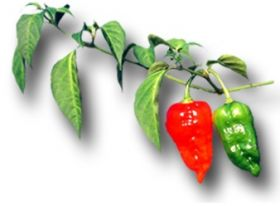 Chilli exports help boost UK economy