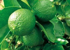 EU mulls Brazilian citrus ban