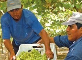 Brazil and Peru target US grape window