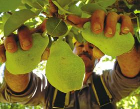 Solid gains for Southern Hemisphere pears