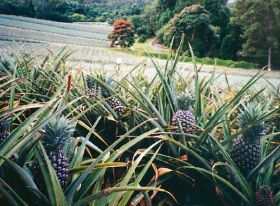New biosecurity plan for Australian pineapples